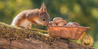 CRI - L'écureuil stocke des noisettes