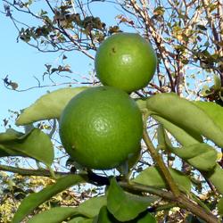 2 citrons dans mon jardin au Costa Rica