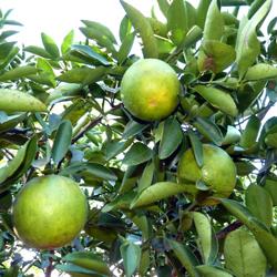 3 oranges dans mon jardin au Costa Rica