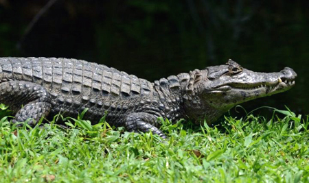 Alligator du Costa Rica