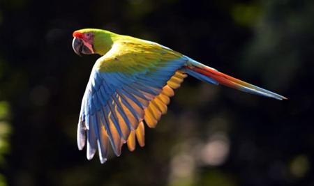 Ara vert du Costa Rica