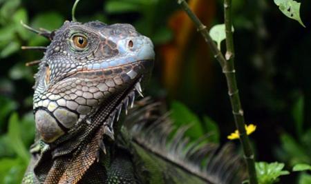 Iguane du Costa Rica