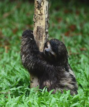 Paresseux à gorges brune du Costa Rica