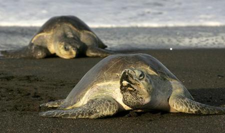 Tortue de mer au Costa Rica