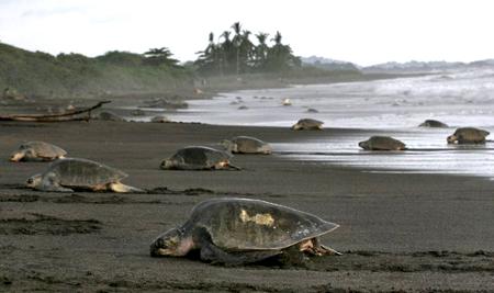 Tortues de mer au Costa Rica