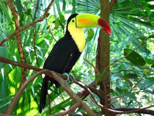 Toucan du Costa Rica