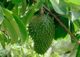 Annona du Costa Rica