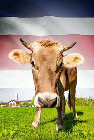 Vache et drapeau du Costa Rica