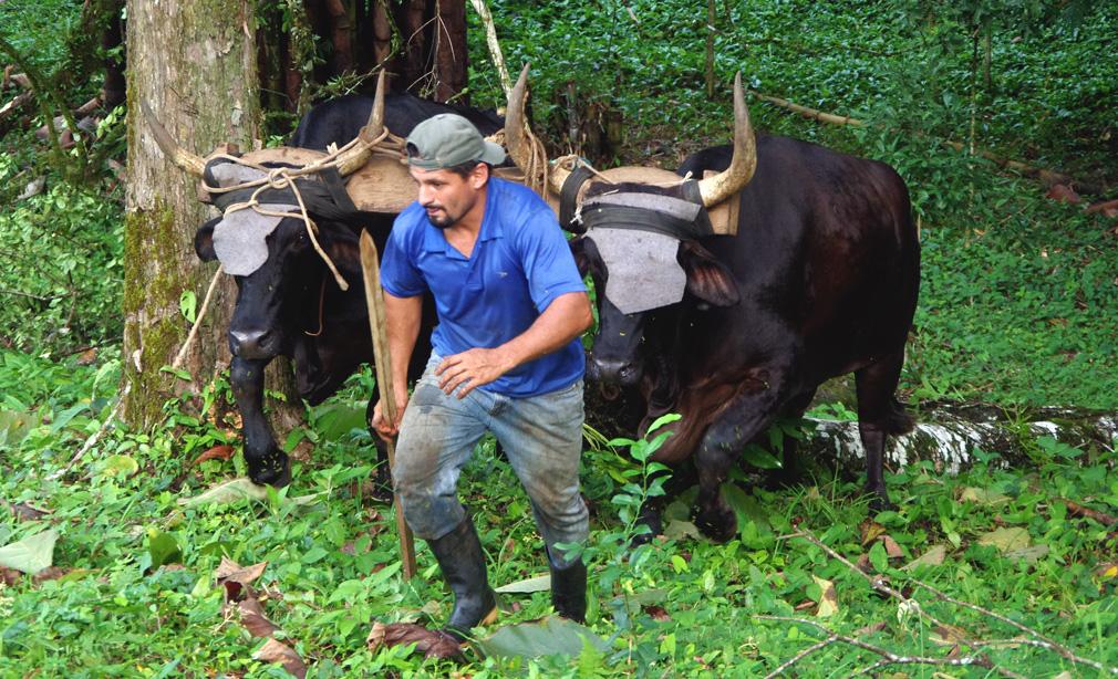 Boeufs au travail, Costa Rica