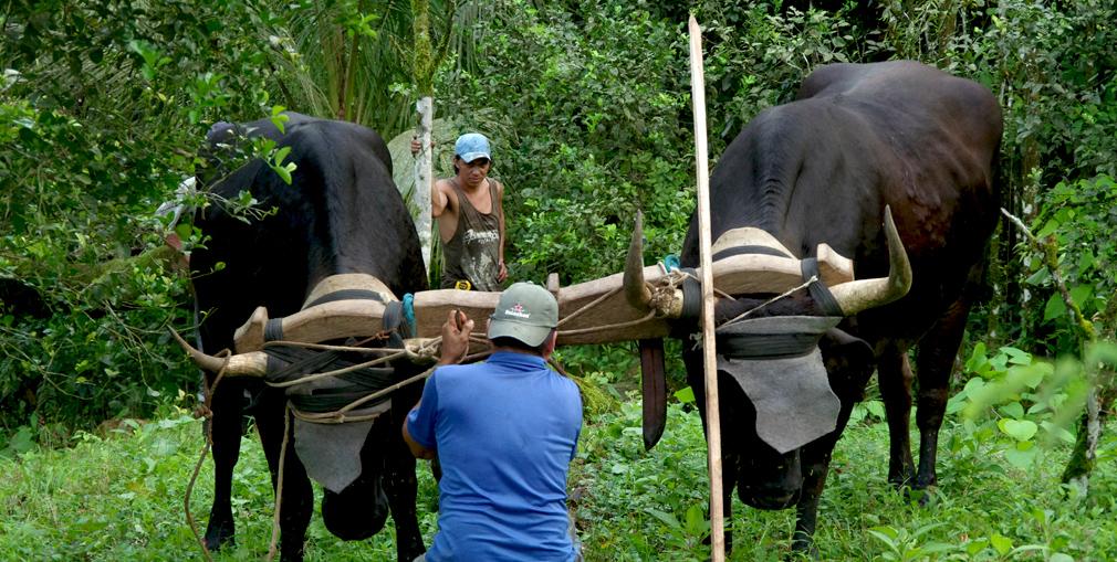 Préparation de l'attelage des boeufs, Costa Rica