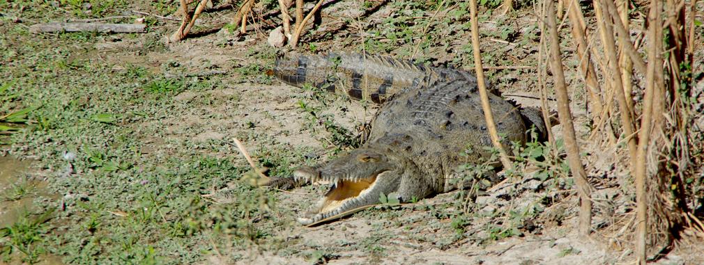 Costa Rica - Crocodile à Liberia / Guanacaste - 2