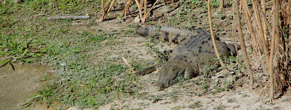 Costa Rica - Crocodile à Liberia / Guanacaste - 3