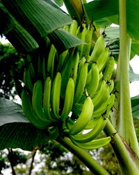 Costa Rica - Régime de bananes plantains