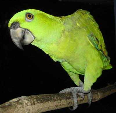 Fido, perroquet vert du Costa Rica - Amazone à tête jaune