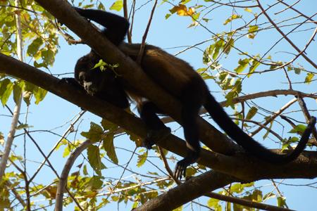 Singe hurleur du Costa Rica, Oh, ça va en bas ?