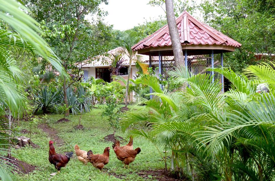 Le coq et ses 4 poules - Costa Rica - Le jour