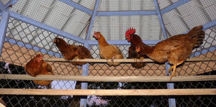Le coq est ses 4 poules - Costa Rica - La nuit