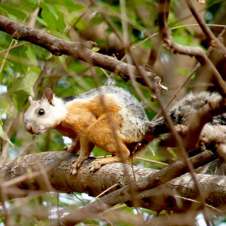 Ecureuil du Costa Rica