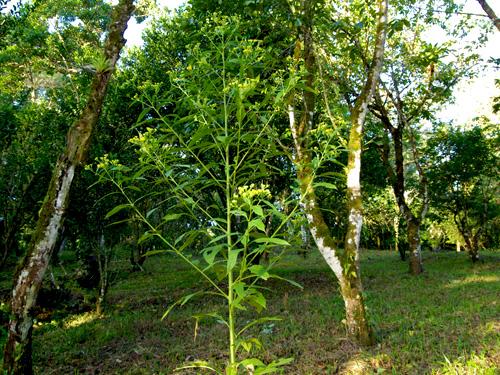 gavilana du Costa Rica, plan large