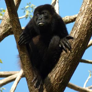 Singe hurleur du Costa Rica, la Joconde réincarnée ?