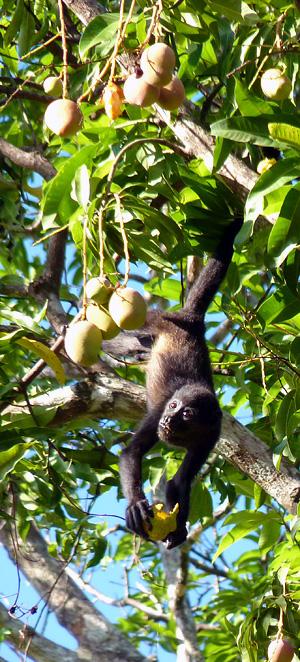 Petit singe hurleur du Costa Rica, les yeux plus gourmands que le ventre