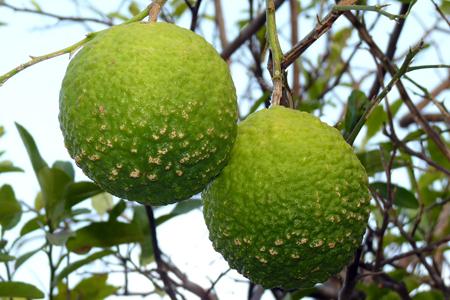 2 citrons type limon lima dans l'arbre