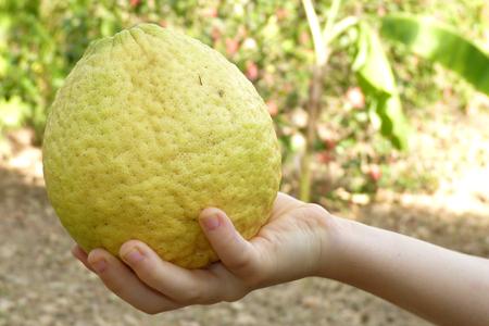 1 citrus de type limon lima dans la main d'Anna