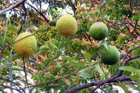 4 citrus type limon lima dans l'arbre, guanacaste en fleur en arrière-plan