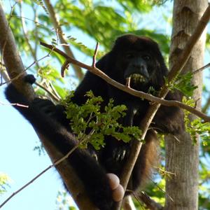 Devinette, singe hurleur du Costa Rica, mâle ou femelle ?