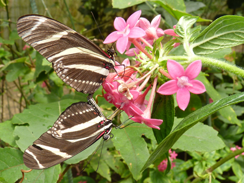 Serres aux papillons, centre de Monteverde, Costa Rica