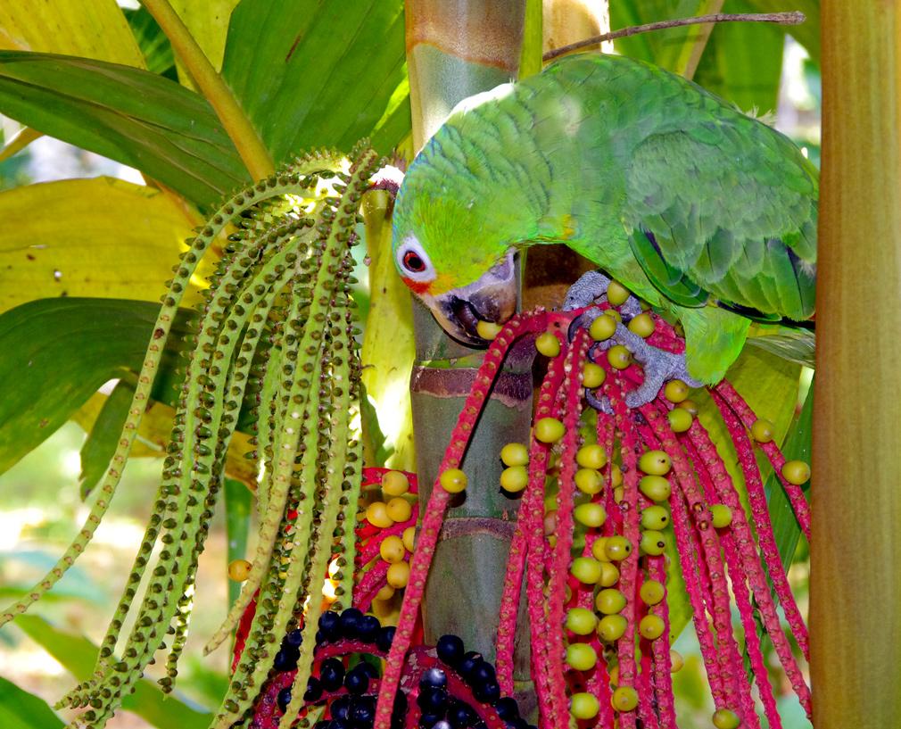 Costa Rica, perroquet vert, Toucan-Lodge, Bijagua le 13 mars 2014 - Vue 03