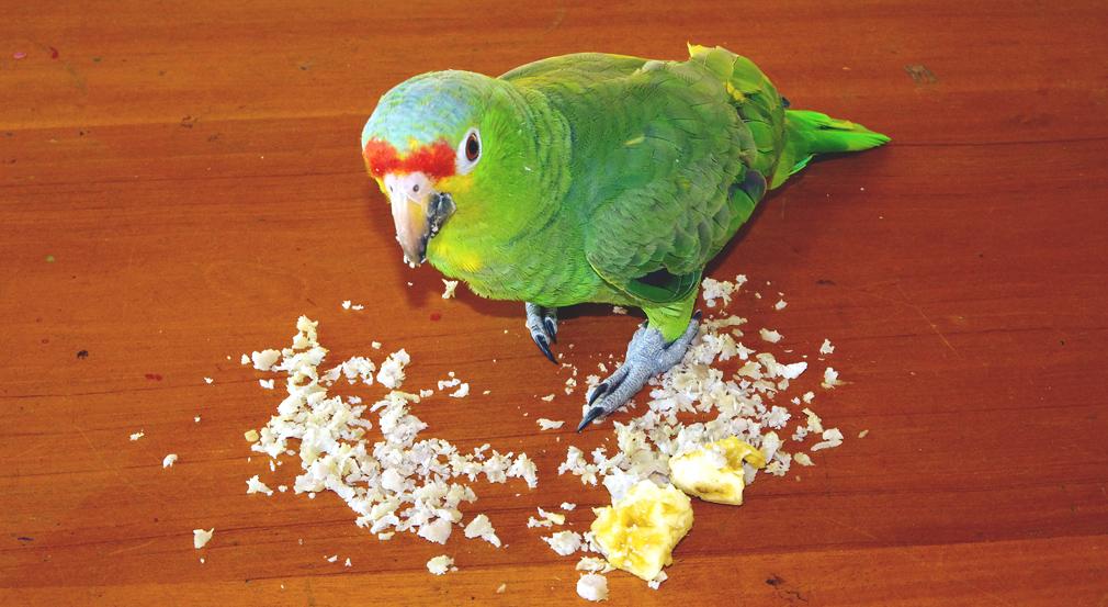 Costa Rica, perroquet vert, Toucan-Lodge, Bijagua le 13 mars 2014 - Vue 01