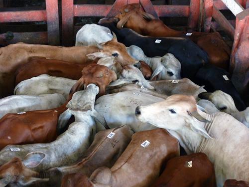 Vente aux enchères, vaches, chevaux, bétails, Upala, Alajuela, Costa Rica